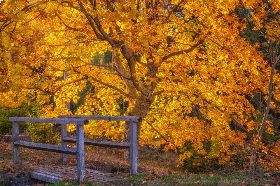Ahornbaum im Gegenlicht mit Holzbrücke im Harz