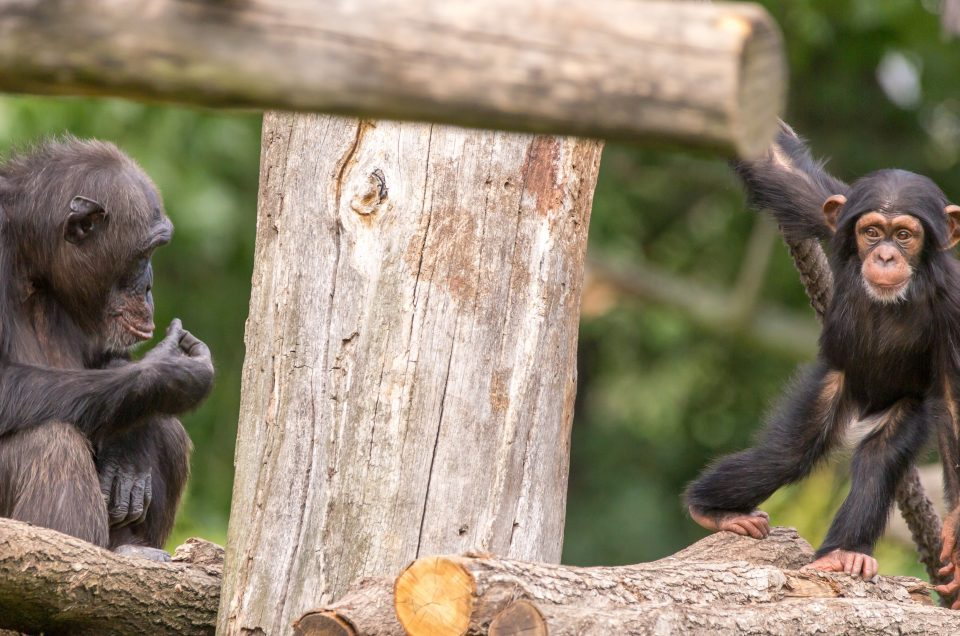 Zoo Leipzig Westafrikanischer Schimpanse