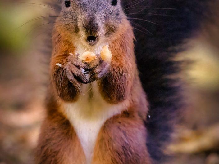 Eichhörnchen betreiben Wintervorsorge